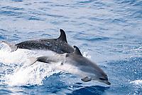 Tumor, Atlantic spotted dolphins, Stenella frontalis, Azores Islands, Portugal, North Atlantic