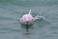 Chinese white dolphin, Sousa chinensis, a subspecies of Indo-Pacific humpback dolphin, adult, surfacing, Hong Kong, China, Pearl River Delta, South China Sea, Pacific Ocean
