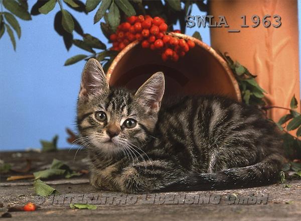 Carl, ANIMALS, photos(SWLA1963,#A#) Katzen, gatos
