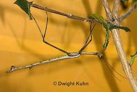 OR07-568z  Walking Stick Insect, Ctenomorphodes briareus