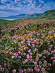 Asters, Erigeron glaucus, Angelica, Angelica californica, Mattole Beach, King Range National Conservation Area, The Lost Coast, Humboldt Co, California