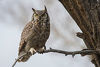 Adult male Great Horned Owl (Bubo virginianus). Sublette County, Wyoming. May.