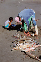 butchering juvenile sharks, local Meixcan shark fishery, Bahia de la Paz, Baja, Mexico, Sea of Cortez, Pacific Ocean