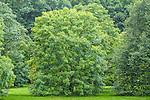 Ohio Buckeye trees at the Arnold Arboretum in the Jamaica Plain neighborhood, Boston, Massachusetts, USA