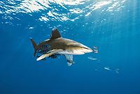 Oceanic Whitetip Carcharhinus longimanus, pelagic shark, The Brothers, Red Sea, Southern Egypt, Northern Africa