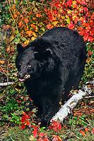 Black Bear in eastern forest, fall.