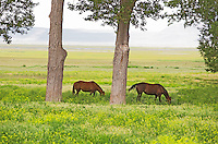 Horses in pasture with large cottonwood trees. Summer Lake Oregon