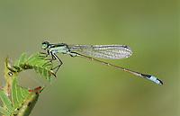 Rambur's Forktail, Ischnura ramburii, male, Willacy County, Rio Grande Valley, Texas, USA, May 2004