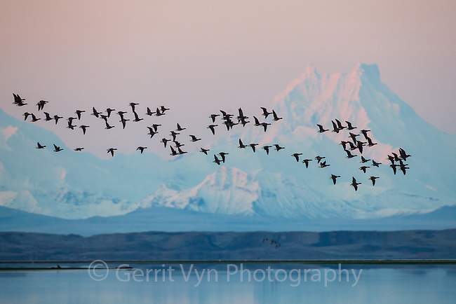 Migratory Brant at Izembek NWR with Isanotski stratovolcano in the background. Izembek NWR, Alaska.