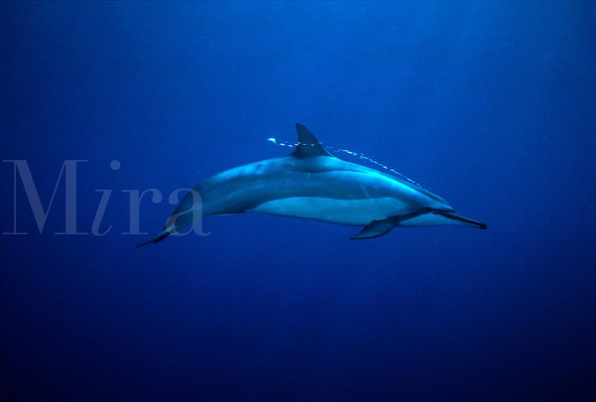 Spinner dolphin Stenella longirostris. Hawaii pacific  Cetacea Odontoceti Delphinidae mammal counter shading shade bubble blowhole