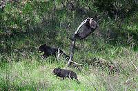 Black Bear Cubs, Roosevelt Junction, Yellowstone National Park