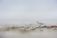 Juvenile Snowy Plover (Charadrius alexandrinus). Pacific County, Washington. September.