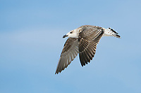 Immature Great Black-backed Gull in 1st winter plumage in flight. Tompkin's County, New York. December.