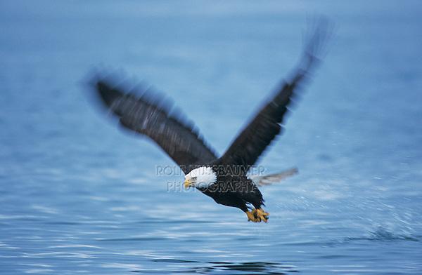 Bald Eagle, Haliaeetus leucocephalus,adult in flight with fish, Homer, Alaska, USA, March 2000