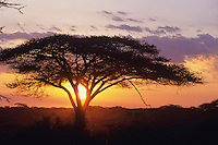 Acacia Tree, Serengeti National Park, Tanzania.
