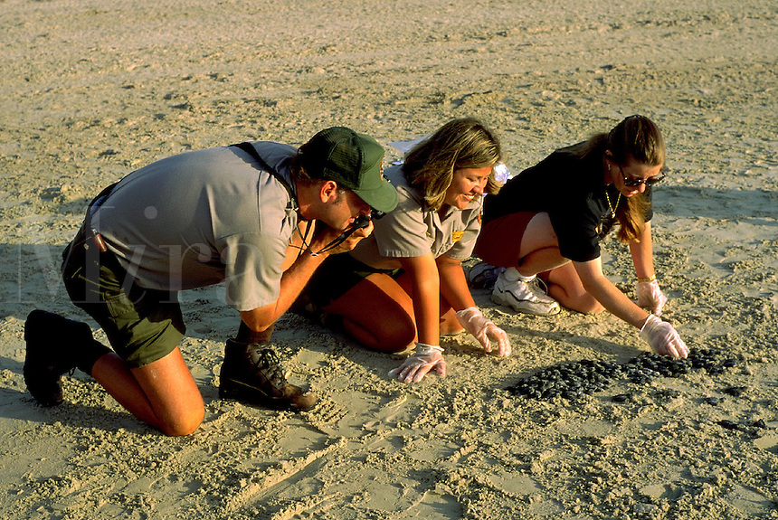 Kemp s Ridley Sea Turtle (Lepidochelys Kempi) hatchling release. Park ranger takes pictures of hatchlings. At subsequent releases the rangers will be responsible for answering questions from the media and the public and for safeguarding the turtles.