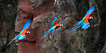 Sequence of a red-and-green macaw or green-winged macaw (Ara chloropterus) (Family Psittacidae) in coming into land at its nest hole on a cliff. Buraco das Araras (Sinkhole of the Macaws), Jardim, Mato Grosso do Sul, Brazil. September. Digital composite image.