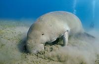 feeding dugong, Dugong dugon, Egypt, Red Sea