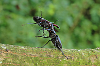 Hirschkäfer, kämpfende Männchen, Kampf, Hornschröter, Hirsch-Käfer, Lucanus cervus, Stag beetle, male, fighting, fight, Schröter, Lucanidae, Stag beetles