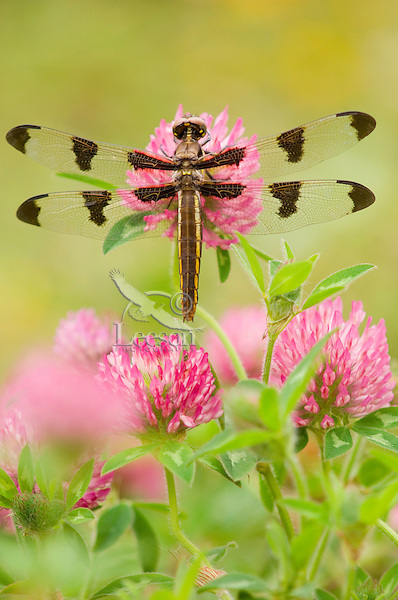 Dragonfly [Twelve-spot Skimmer (Libellula pulchella)] resting on red clover flower on cool morning.  Pacific Northwest.  Summer.  (I believe this is a female, though I'm no expert on dragonflies.)