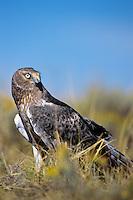 Northern harrier (Circus cyaneus)