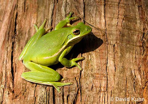 1218-1008  American Green Treefrog Climbing Tree, Hyla cinerea  © David Kuhn/Dwight Kuhn Photography