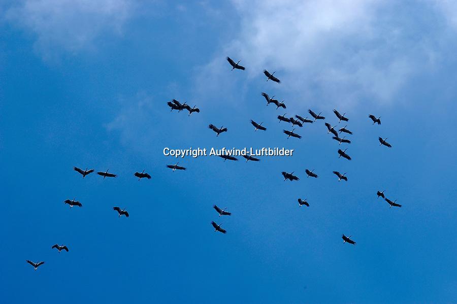 4415/Storch: EUROPA, SPANIEN, 20.08.2007:animal, animals, Aufwind, Aufwinde, ausgestreckt, ausgestreckte Fluegel,  bird, bird migration, birds, birds of passage, Black, blau, blauer Himmel, blue sky, cloudless sky, ecology, fliegen, fliegend, flight, flocks, flying, from below, gleiten, gleitend, gliding, gliding (aviat.), group, groups, Gruppe, Gruppen,  horizontal format, im Flug, Luftstroemung, Luftstroemungen, migration, migratory bird, migratory birds,  Oekologie, overwintering, Querformat, Schwaerme, Schwarm,  segeln, segeln (fliegen), segelnd, Stelzvoegel, Stelzvogel, Stoerche, Storch, stork, storks,  thermal lift, Thermik, Tier, Tiere, Tierwanderung, Tierwanderungen,  uncommon, ungewohnt, unusual, Verhalten, Voegel, Vogel, Vogelschwaerme, Vogelschwarm, Vogelzug, von unten, wings outstretched, wolkenloser Himmel, worms eye view, worms-eye view, Zugvoegel, Zugvogel.