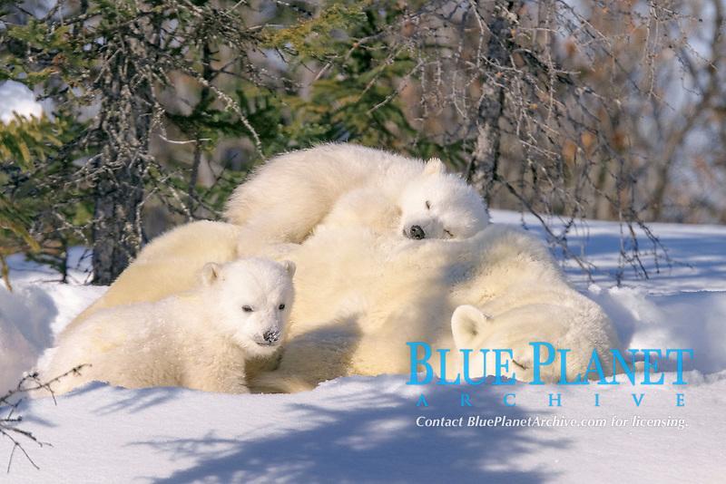 Mother Polar Bear, Ursus maritimus, with 3 month old cubs near Wapusk Park, northern Manitoba, Canada., polar bear, Ursus maritimus