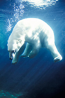 polar bear, Ursus maritimus, swimming in a pool, Anchorage Zoo, Alaska, polar bear, Ursus maritimus