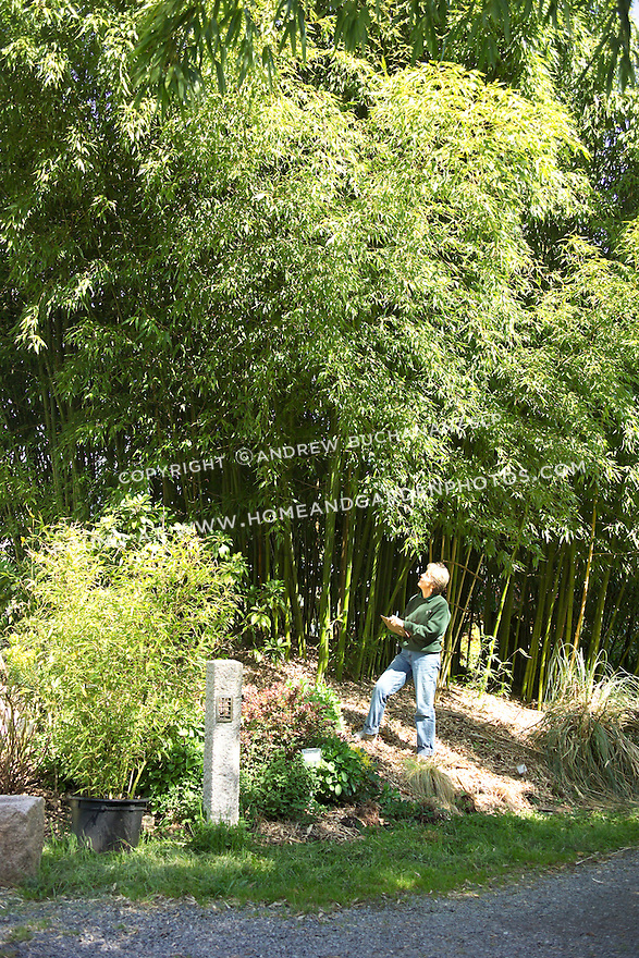 """A woman is towered over by a stand of giant 'Vivax' bamboo, Phyllostachys vivax.  A fast grower to roughly 70' high and 5"""" diameter in a prime location, its wood is surprisingly weak and brittle.  However, it makes an excellent, fast-growing screen or hedge in a large enough area."""