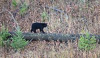 A black bear cub explores away from its mother.  Photos of this cub from spring may be viewed in the Spring 2015 Bears gallery.