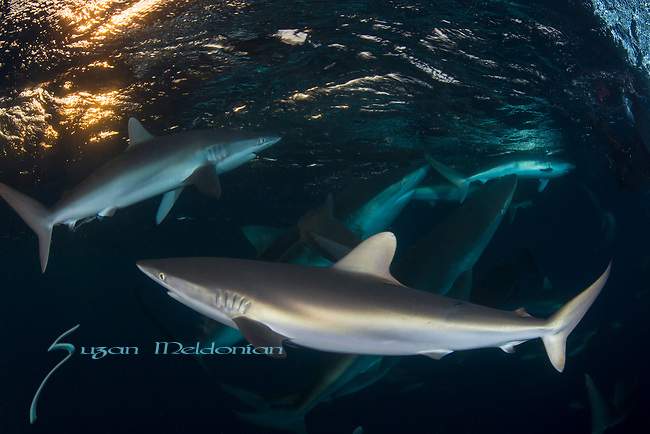 Carcharhinus falciformis, Cuba Underwater, Gardens of the Queen, Sunlit silky sharks at the surface, teaming with sharks