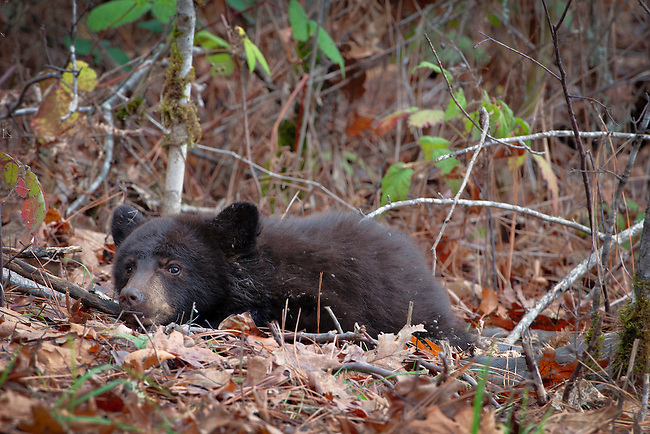 This baby black bear was orphaned but was lucky to find a deer carcass to eat. A wildlife rescue group was willing to take the baby in, but the Oregon Fish & Wildlife would not give them permission. Once the carcass was gone, the baby moved on.
