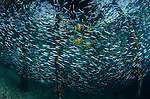 Schooling baitfish surround a piling under the Arborek jetty in the Dampier Strait, Raja Ampat, West Papua Province, Indonesia, Pacific Ocean