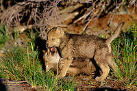 Two Gray wolf (Canis lupus) pups play near den.