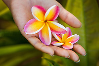 A hand holding candy colored plumerias