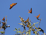 Each year at about this time, hundreds of monarch butterflies make their appearance at Ardenwood Regional Preserve in Fremont, where they over-winter in the eucalyptus groves as part of their amazing life cycle. Ardenwood is really the only place in the East Bay where you can view this beautiful spectacle. A smaller contingent of monarchs used to show up at Pt. Pinole in Richmond, but that hasn't happened in recent years.