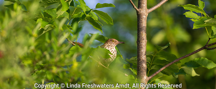 Brown thrasher in northern Wisconsin.