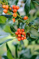 Ilex aquifolium 'Amber'