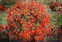 Begonia boliviensis 'Bonfire' in hanging pot container basket aka Nzcone, annual flowering plant