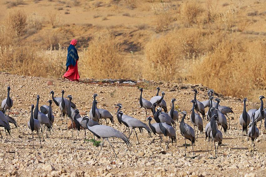 Kheechen/Khichan  north of Jodhpur in the northern part of the Thar Desert in Rajasthan is the Bird Sanctuary. Migratory Demoiselle cranes, (Anthropoides virgo) Thar Desert Rajasthan, India