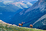 Two American elk bulls (Cervus elaphus) grazing on the summer tundra, Rocky Mountain National Park, Colorado