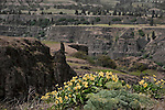 Balsamroot wildflowers and rock formations at famous Tom McCall Preserve in the Columbia River Gorge.  Both Oregon and Washington state sides of the Columbia Gorge highlight views from Tom McCAll, which hosts species found only in this area of the world.  Lewis and Clark passed through this area twice.