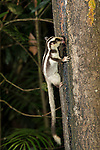 Striped possum (Dactylopsila trivirgata) feeding on nectar from a tree trunk.