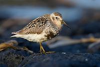 Adult Rock Sandpiper (Calidris ptilocnemis ptilocnemis) of the Pribilof Island race in breeding plumage. St. George Island, Alaska. July.