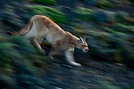 Mountain Lion (Puma concolor) six month old kitten walking, Torres del Paine National Park, Patagonia, Chile