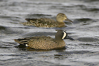Pair of Blue-winged Teals swimming on a pond