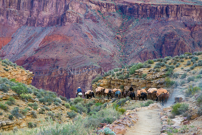 a string of pack mules making the long steep decent into the bottom of the grand canyon to Phantom Ranch