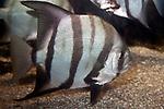 Atlantic spadefish full body view swimming right.