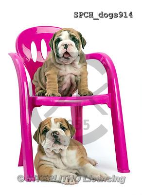 Xavier, ANIMALS, REALISTISCHE TIERE, ANIMALES REALISTICOS, dogs, photos+++++,SPCHDOGS914,#A#